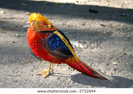 beautiful gorgeous pheasant , in the coloured dress. Chrysolophus pictus