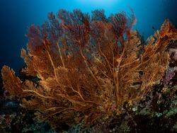 Beautiful Gorgonian Sea Fan Soft Corals in natural diverse habitats around coral reef. Marine life underwater environment.