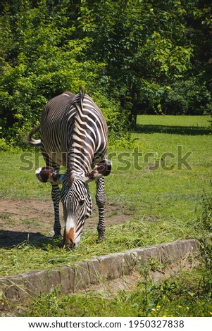 beautiful Grévy's zebra eats lunch in a large park. Imperial zebra eats a piece of grass. Striped animal in the wild. Stok fotoğraf ©
