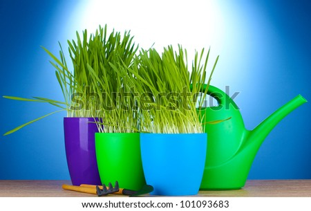 beautiful grass in a flowerpots, watering can and garden tools on wooden table on blue background