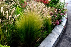 beautiful grass that comes from America, specifically New Mexico. Ponytails is a compact, lower variety of this ornamental grass, which in early summer forms thin stems with feathery laths of a flowe