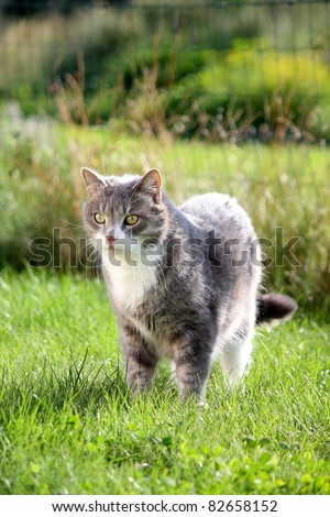 Beautiful gray cat with white chest standing on the grass #82658152
