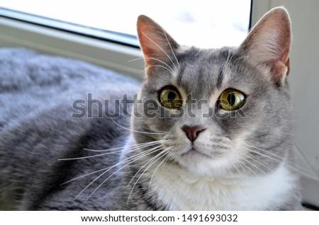 Beautiful gray cat with yellow eyes lies on the windowsill, portrait