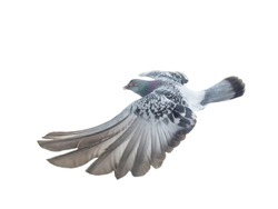 beautiful gray dove in flight with spread wings isolated on white background