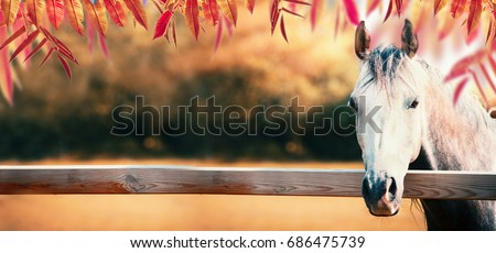 Beautiful gray horse head at paddock fence at autumn nature background with colorful fall foliage, banner
