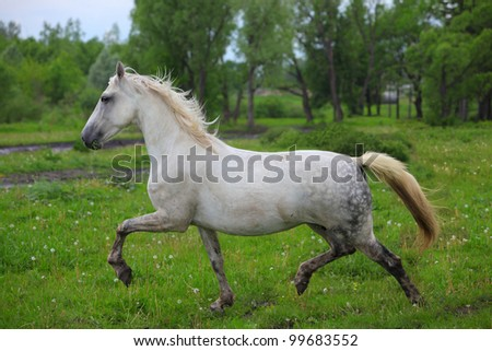 Beautiful gray horse playing