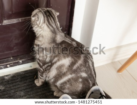 Beautiful gray lop-eared scottish cat walks around a door while studying its new housing. The concept of animal welfare and care for pedigree cats. #1481275451