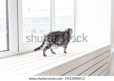 Beautiful gray lop-eared scottish cat walks cautiously around a new white window-sill while studying its new housing. The concept of animal welfare and care for pedigreed cats. #1433000612