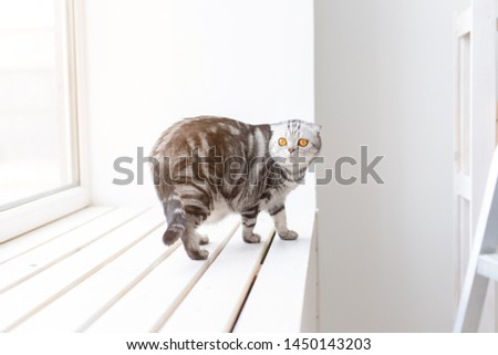 Beautiful gray lop-eared scottish cat walks cautiously around a new white window-sill while studying its new housing. The concept of animal welfare and care for pedigreed cats. #1450143203