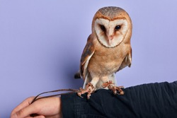 beautiful gray owl standing on the man's arm. focus on the bird. close up photo. animal lover, isolated blue background, studio shot