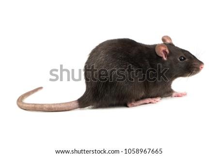 Beautiful gray rat isolated on white background