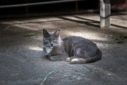 Beautiful gray street cat lies on the pavement. looking at camera. sad facial expression. homeless, spotted cat. elegant gray color of wool. sophisticated aesthetics of gray color. view from the side.
