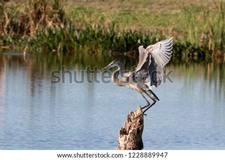 Beautiful Great Blue Heron in Florida Marsh