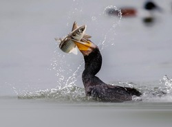 Beautiful Great Cormorant