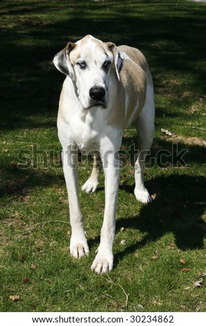 beautiful great dane