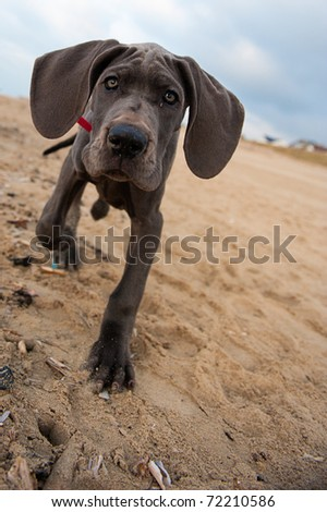 Beautiful Great Dane puppy on the beach