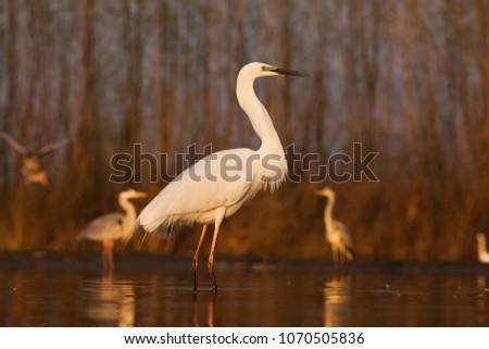 beautiful great white egret fishing on a lake - wildlife in its natural habitat