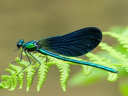 beautiful green and blue dragon-fly close up above a green plant
