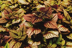 Beautiful green and purple leaves of the plant coleus Plectranthus scutellarioides and Perilla. Textured natural background of beautiful two-tone leaves.