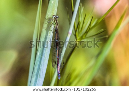 Beautiful green-azure dragonfly Arrow Southern (Coenagrion mercuriale). Damselfly Coenagrionidae insect on a green grass blade. Selective focus. #1017102265