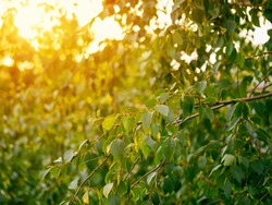 Beautiful green birch branches natural abstract bokeh background with copy space. Fresh foliage of thin gentle birch branches in sunset light. Yellow sun rays bursting through leaves