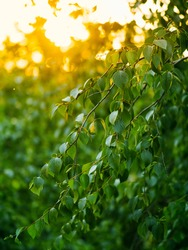Beautiful green birch branches natural abstract bokeh background with copy space. Fresh foliage of thin gentle birch branches in sunset light. Yellow sun rays bursting through leaves. Vertical