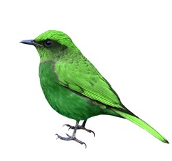 Beautiful green bird isolated on white background