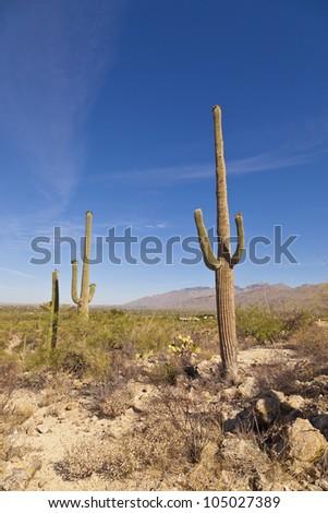 beautiful green cacti in landscape