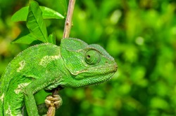 Beautiful green chameleon - Stock Image