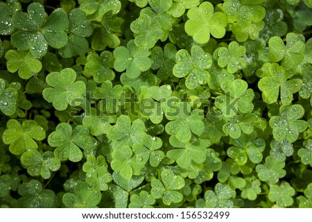 Beautiful green clover closeup - st Patrick day concept - 17 march