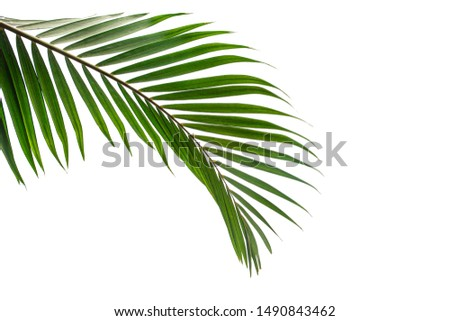 Beautiful green coconut leaf isolated on white background with clipping path for design elements, tropical leaf, summer background #1490843462