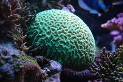 beautiful green coral head at a reef