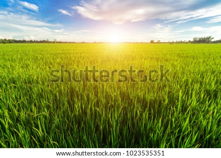 Beautiful green cornfield with sunset sky background.