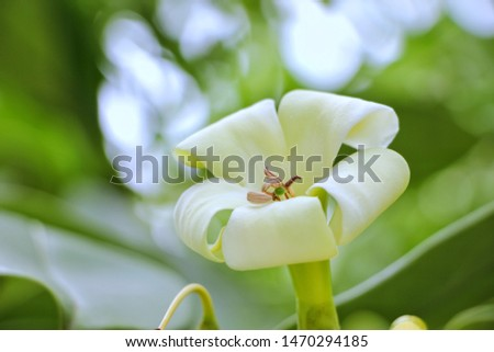 Beautiful green emerald pollen, notably in the middle of white petals, thick petals, petals roll down to the outside, green leaf background, blurred images with bokeh. #1470294185