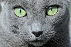 beautiful green eyed grey colored Russian blue cat (Archangel Blue / Archangel Cat) portrait close-up looking into camera