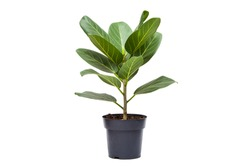 Beautiful green ficus isolated on white