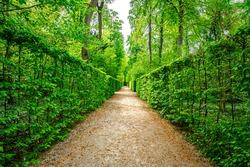 Beautiful green foliage background in Park. Natural green hornbeam leaf walls. Dark green leaves hornbeam fence background