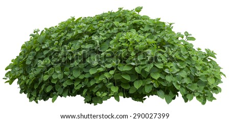 Beautiful green fresh ornamental tree isolated on white background #290027399