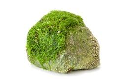 Beautiful green fresh seaweed algae on the stone isolated on white background