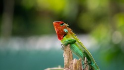 Beautiful green garden lizard climb and sitting on top of a wooden trunk like a king of the jungle, bright orange-colored head and sharp yellow to green spines in the back, vivid saturated color skin.