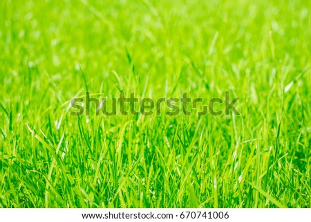 beautiful green grass after mowing,  lawn background #670741006