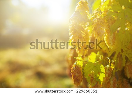 beautiful green hop