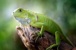 Beautiful Green Iguana with natural background on the park