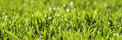Beautiful green lawn with nice water drops with perfect sunlight. The dominating color is a fresh and warm green the embodiment of a perfect lawn in a garden the wish of every gardener.