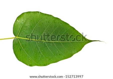 Beautiful green leaf isolated on white