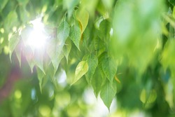 Beautiful green leaves and bright sun. Background copyspace. Magic nature, space for text