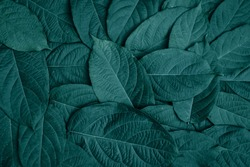 Beautiful green leaves background. Garden and Green wall, leafs texture, texture of green plant,  tropical leaves background.