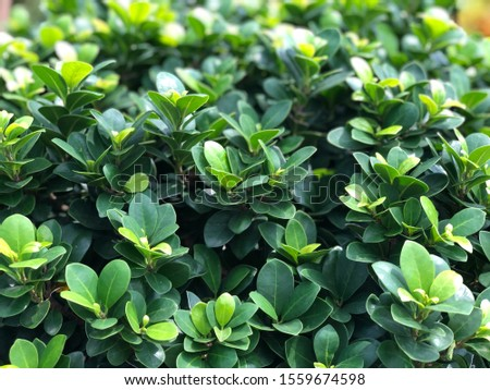 Beautiful green leaves growth in botanical garden, natural background, selective focus. Close up of foliage. Tropical botany tree. #1559674598