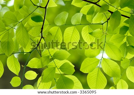 Beautiful green leaves of an American Yellow Wood make pattern background