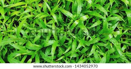Beautiful green leaves pattern with raindrop after raining day for background - Beauty of Nature, Fresh and Natural wallpaper concept